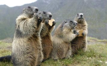 Marmotas en EEUU